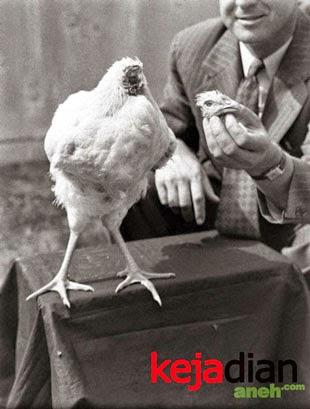 Kejadian Unik Ayam Tanpa Kepala
