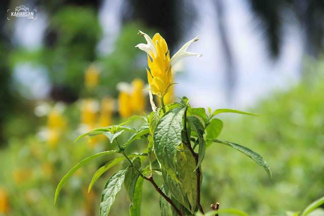 bunga tugu digulis pontianak - kaharsan