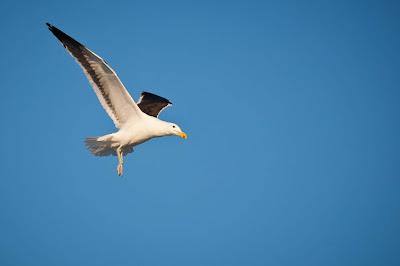 kelp-gull-in-flight-3141073.jpg