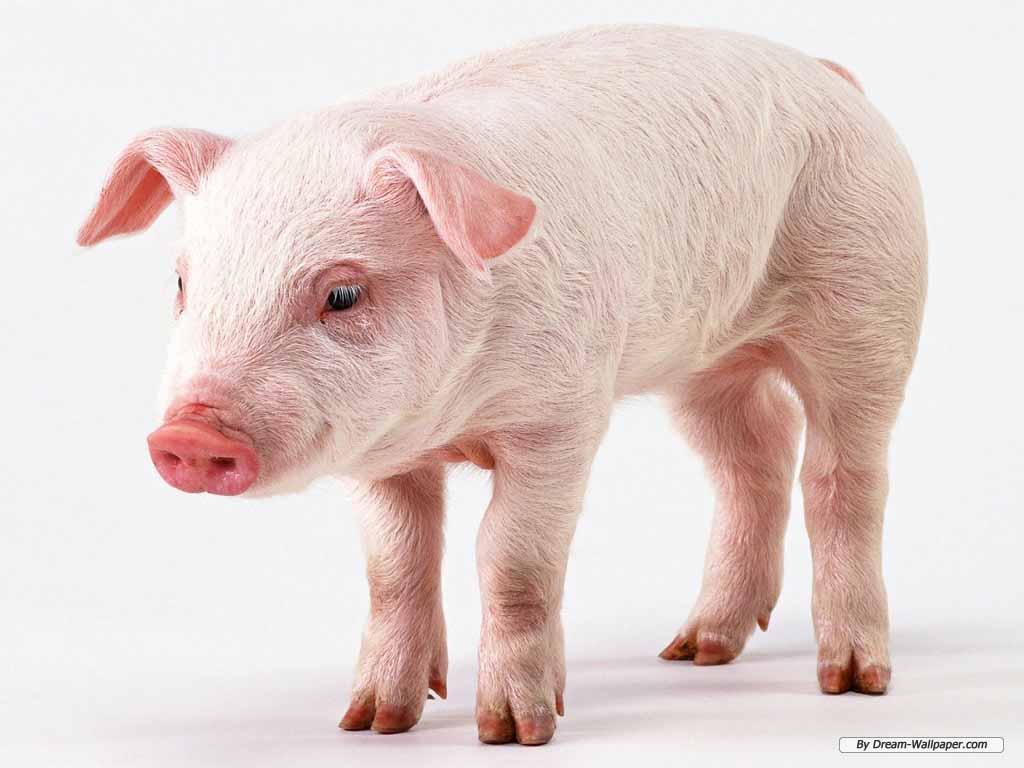 Hq wallpapers pig wallpapers - Pig wallpaper cartoon pig ...
