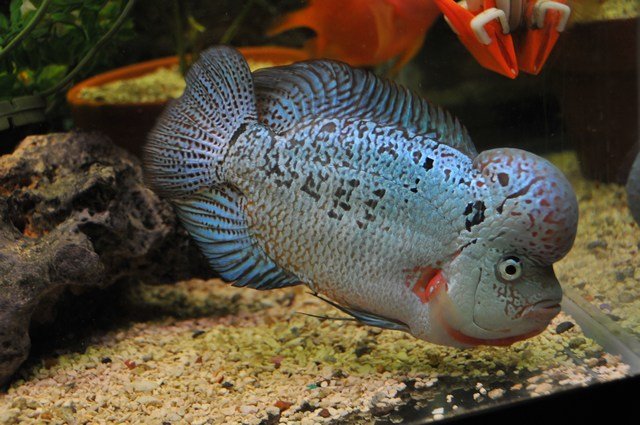 Flowerhorn The Hybrid Cichlids: Baby Kamfa Growth - fish ...