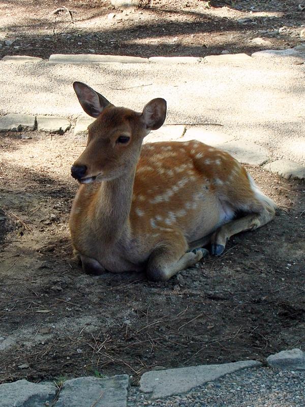 ein Sika Hirsch in Nara