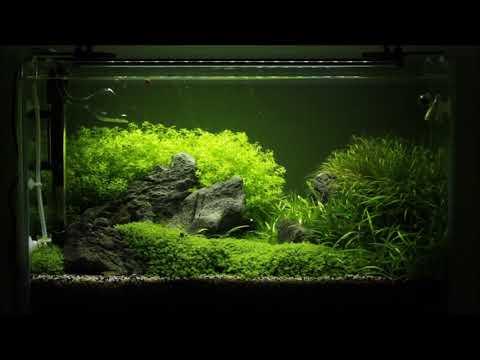 Cara Ampuh Menghilangkan Alga Lumut Aquascape