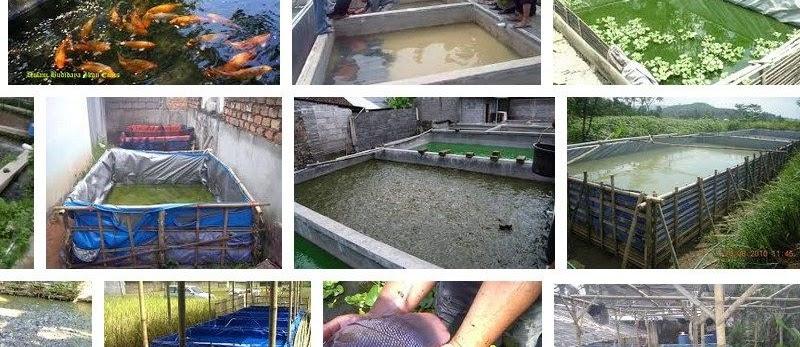 Usaha Budidaya Ikan untuk Pemula Hasil Melimpah