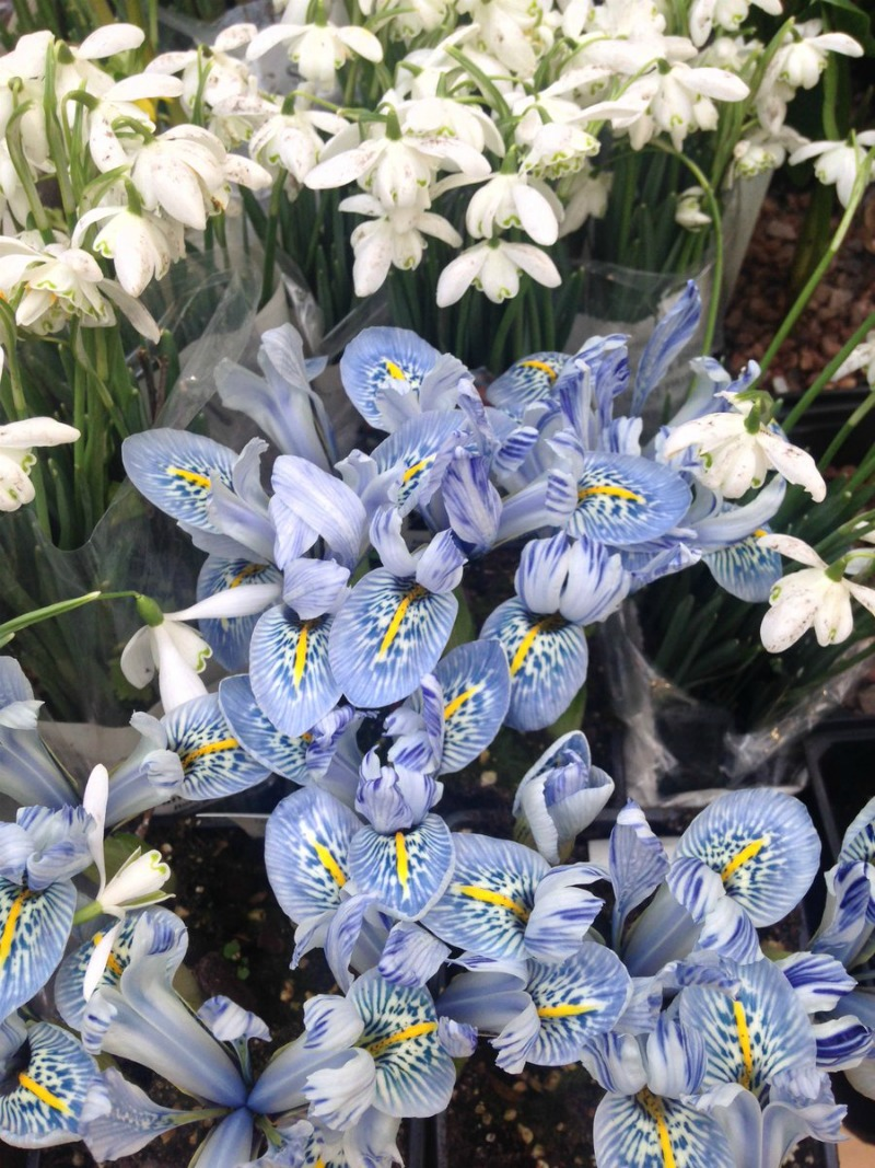 Iris reticulata RHS Early Spring Plant Fair 2017