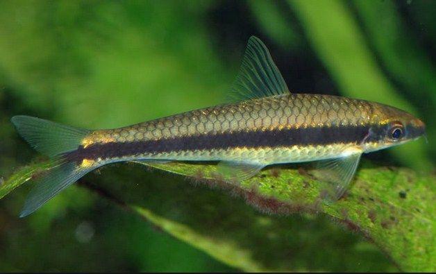 harga ikan Ikan Hias Siamese Algae Eater (SAE)