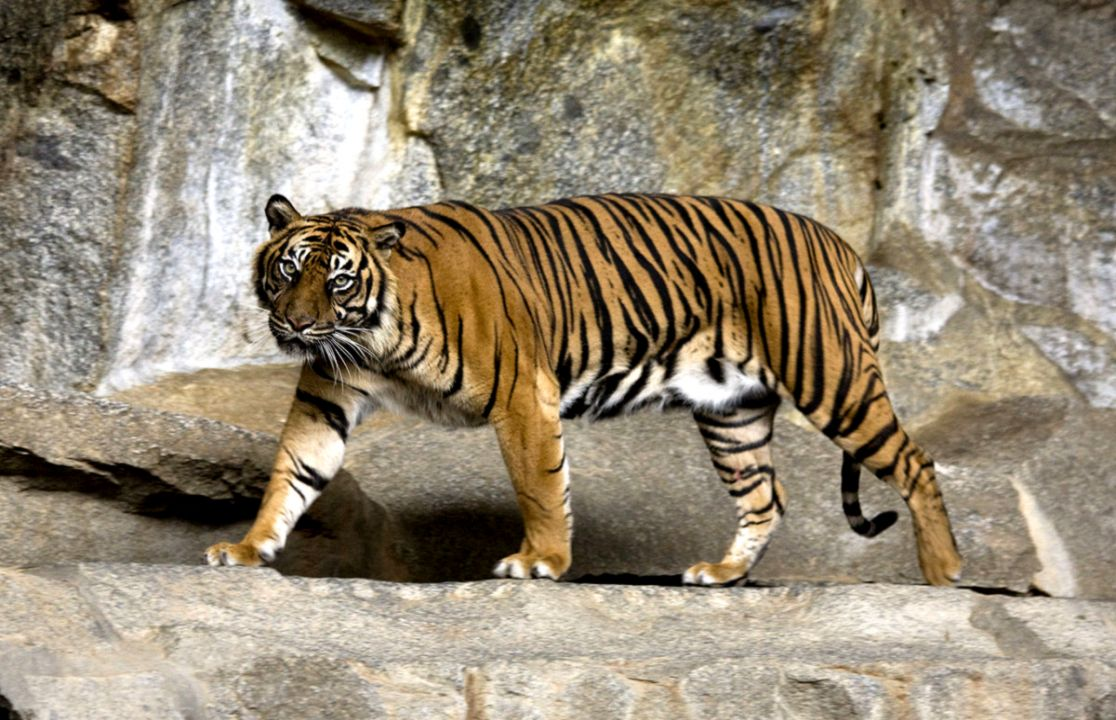Sumatera Tiger In The Forest Free Hd Wallpaper Kingdom