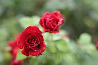 hoa hồng cổ hải phòng màu đỏ rực rỡ