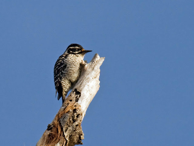 Nuttall's Woodpecker at Jacks Creek picnic area