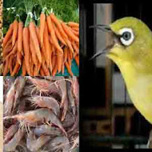 Racikan Pakan Untuk Menambah Stamina Burung Pleci