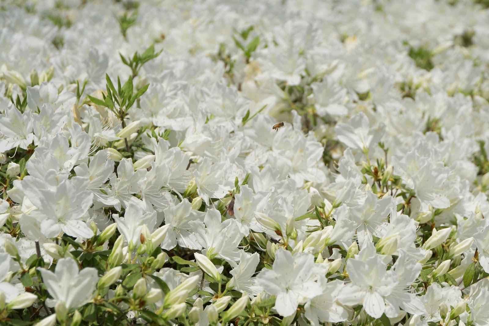 満開に咲き乱れる白琉球