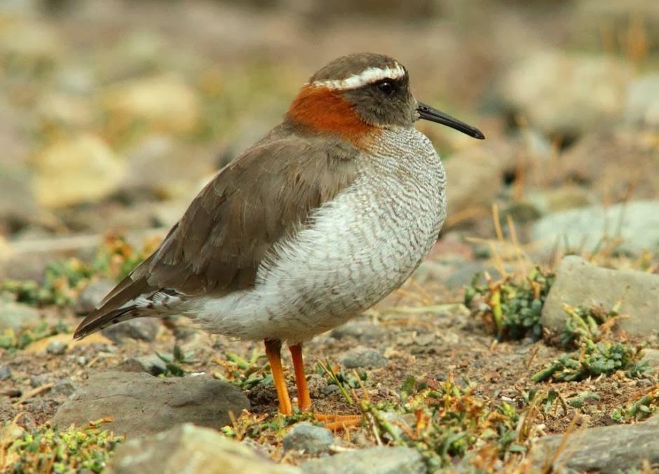 Chorlito de vincha Nombre científico: Phegornis mitchellii