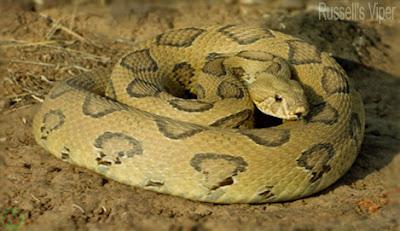Russell's viper snake,চন্দ্রবোড়া