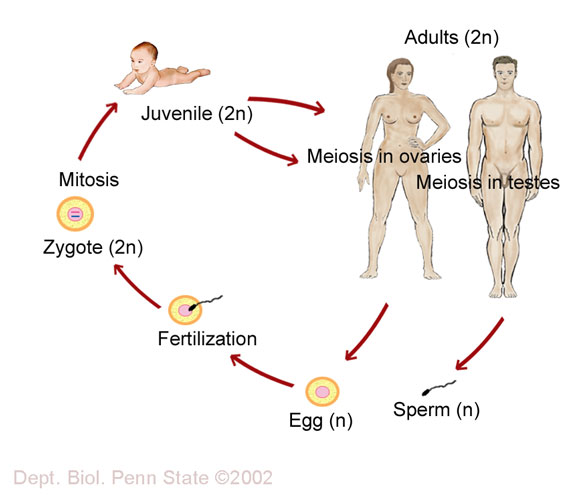 Animal reproductive system