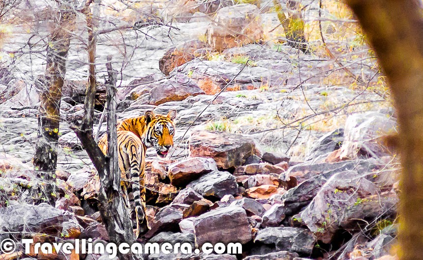Meet the tiger at Ranthambore National Park, Rajasthan, India