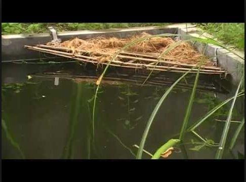 Pemijahan Ikan Gurami
