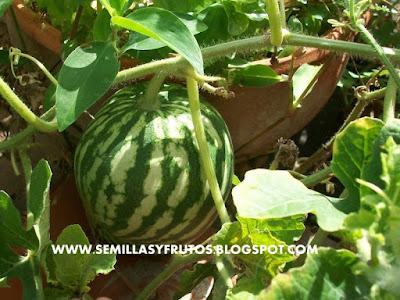 facil cultivar sandia en maceta
