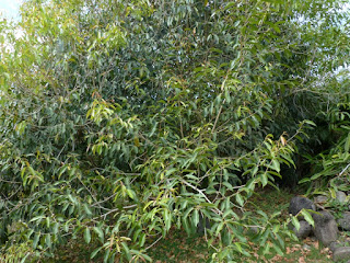 Syzygium cumini - Jamblon - Jamelonier