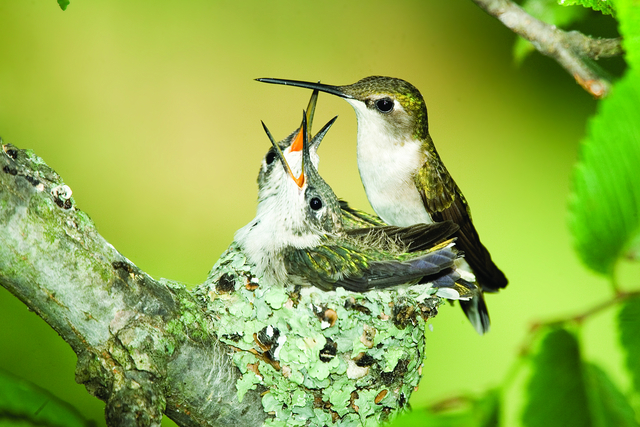 Where Ruby Throated Hummingbirds Nest