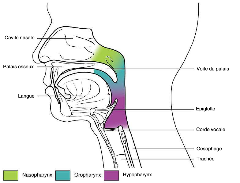 pharynx naso oro hypo