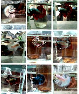 Bagaimana Perbedaan antara jenis ikan cupang bagan dan plakat