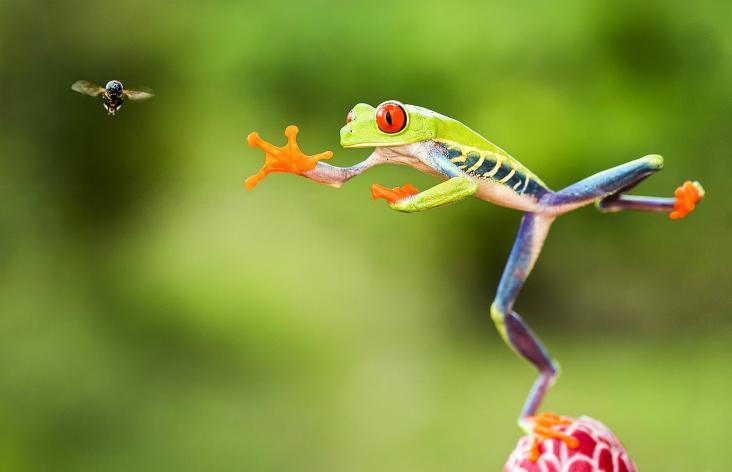 Rã verde de olhos vermelhos saltando em direção à mosca