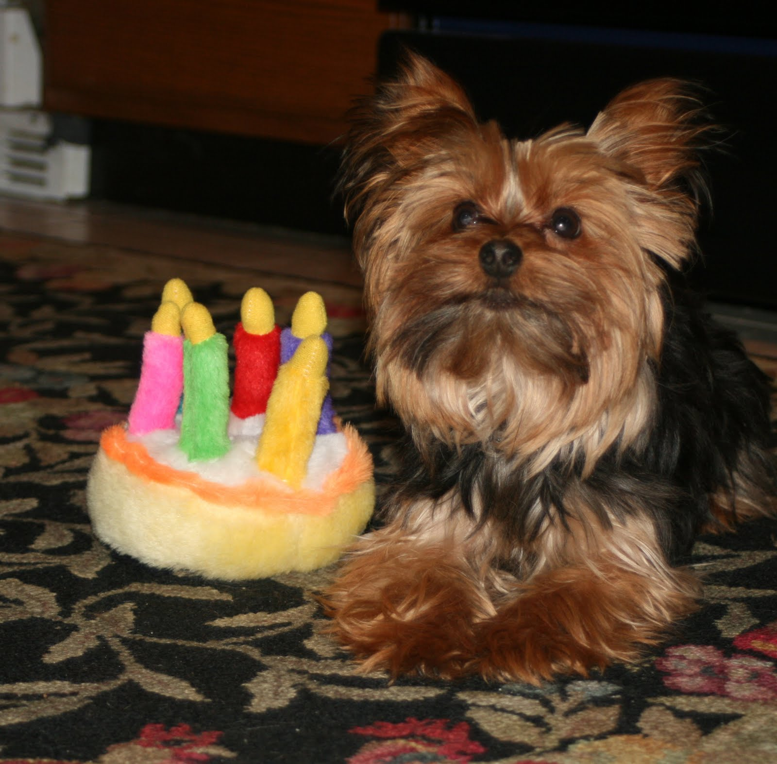 Yorkshire Terrier With Birthday Cake