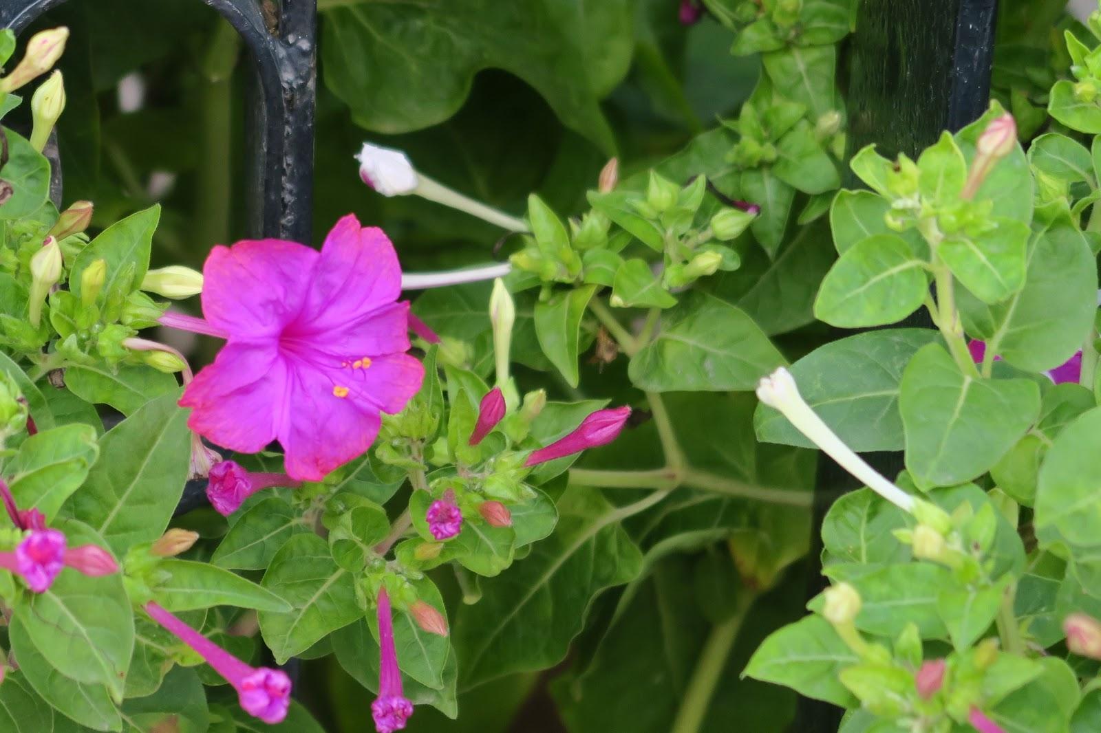 La bella di notte umile ma mirabile sarda news l for Arbusto dai fiori rosa e bianchi