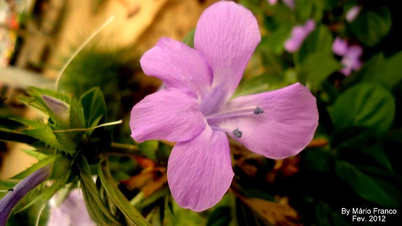 Flor  Barleria cristata