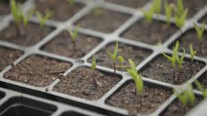 semillas brotando