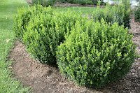 Sprinter® Boxwood landscape hedge