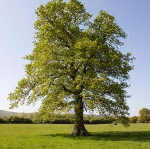 El emboscado como un arbol for Caracteristicas de arboles frondosos