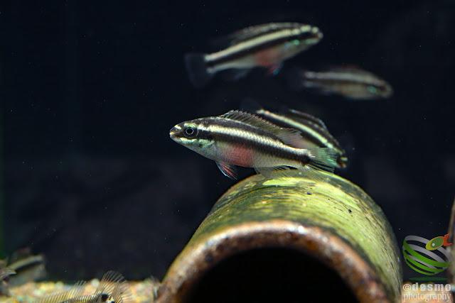 F1 Pelvicachromis sacrimontis