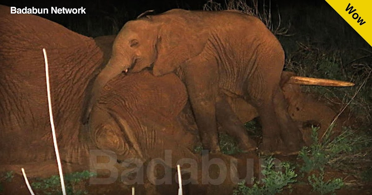 triste historia drama elefantes madre hijo