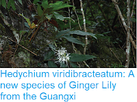 https://sciencythoughts.blogspot.com/2018/11/hedychium-viridibracteatum-new-species.html