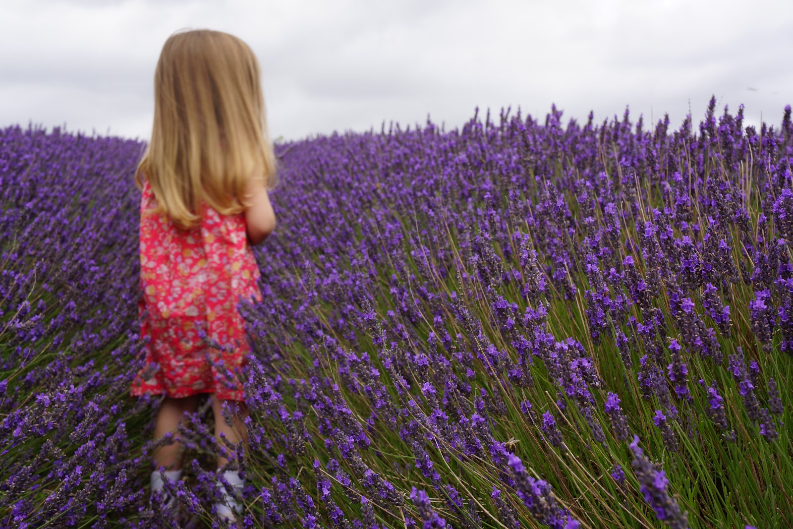 little girl walking on a lavender field