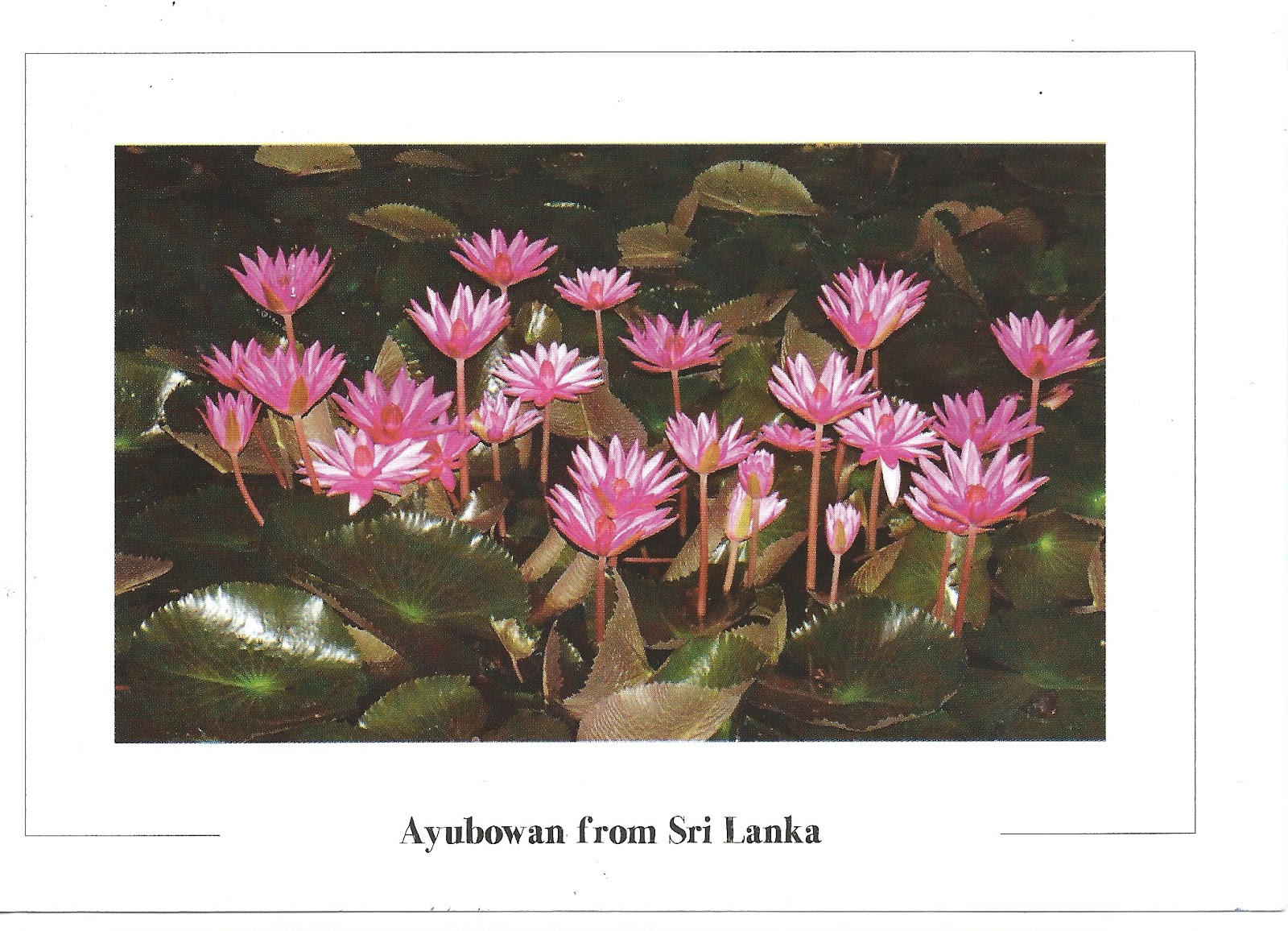 My Postcard Page Sri Lanka National Flower Lotus
