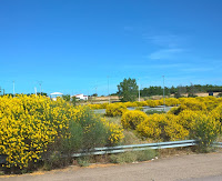 Banks of yellow flowering broom on the motorways in Spain.