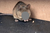 Know How to Get Rid of Mice to Avoid This Disease