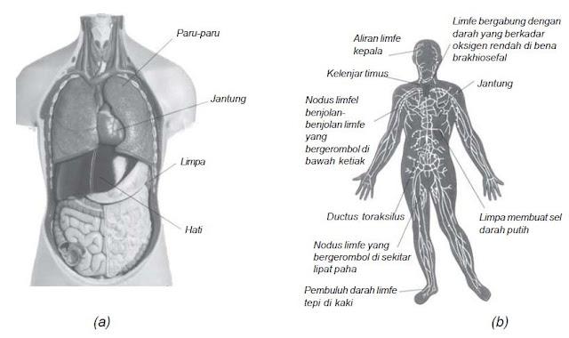 Sistem Peredaran Darah Manusia dan Kelenjar Getah Bening
