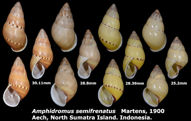Amphidromus semifrenatus 25.2 to 30.11mm