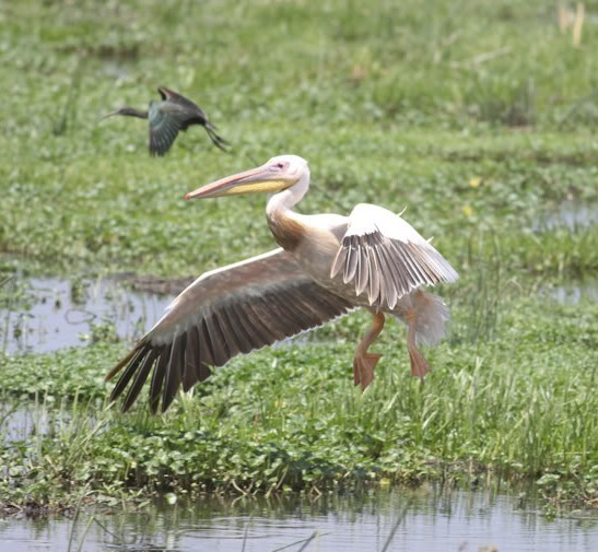 Picture of Great White Pelican.