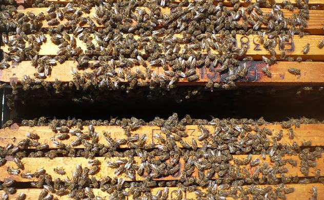 Πωλούνται μελίσσια και παραφυάδες με άριστες μάνες βασιλοτροφίας 2016 - Μελισσοκομία Καλαβρύτων Καραγκούνη