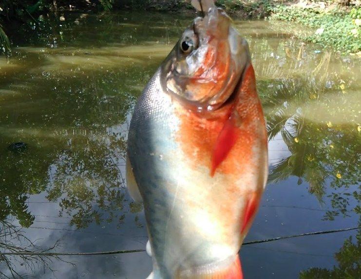 Kỹ thuật làm mồi nhậy câu cá chim sông hồ đơn giản hiệu quả nhất