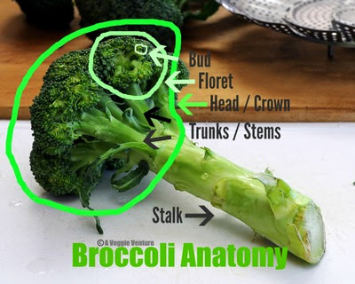Broccoli anatomy