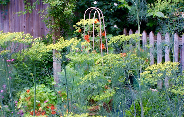 In front of a dovecote, a large stand of dill flowers on tall stalks grows with nasturtiums in the potager.