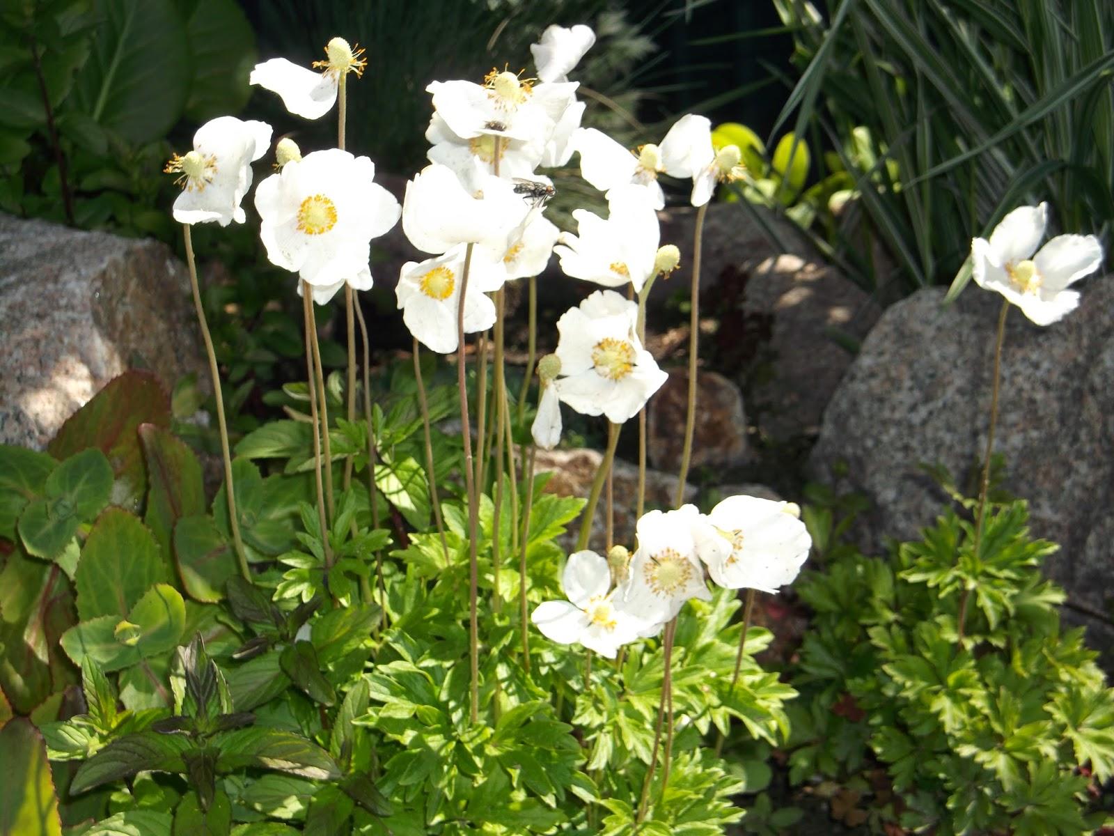 ветреница цветок фото