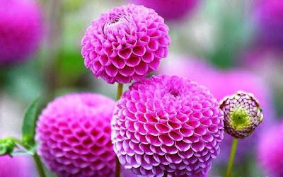 Bunga Tercantik di Dunia-Dahlia Pompon