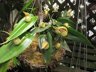 Pleurothallis nossax orchid plant care and culture