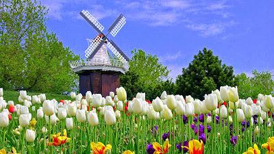 Wallpaper Tulip Putih